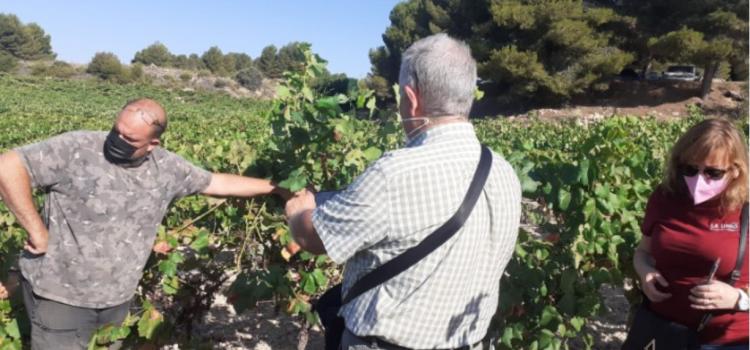 Danys per míldiu en vinyes de la comarca d'Utiel-Requena